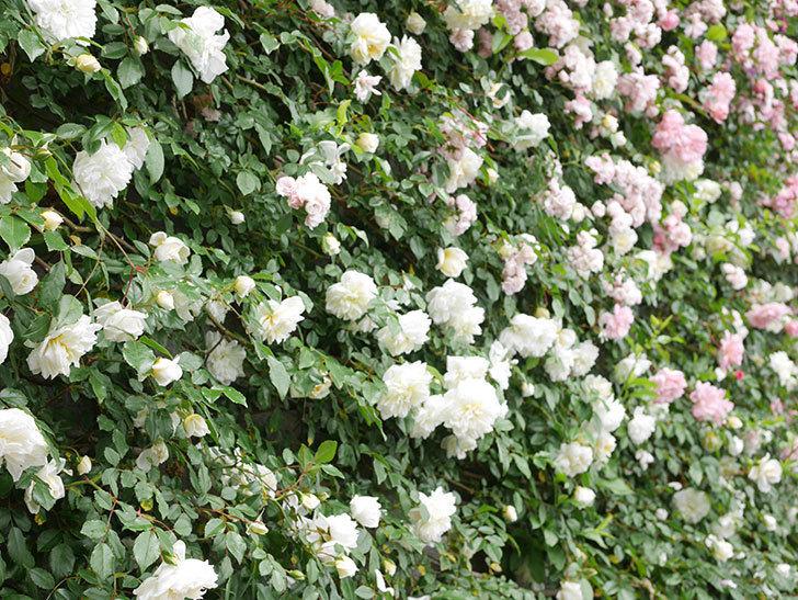アルベリック・バルビエ(ツルバラ)の花が満開になった。ツルバラ。2021年-060.jpg