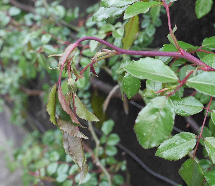 アルベリック・バルビエ(ツルバラ)の蕾付きの新枝が1本バラクキバチにやられた。2020年-1.jpg