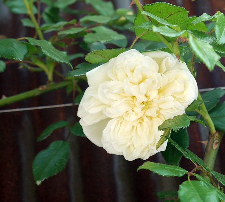 アルベリック・バルビエ(ツルバラ)が咲いた。2017年-1.jpg