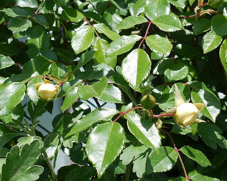 アルベリック・バルビエ(ツルバラ)が咲いた。2017年-10.jpg