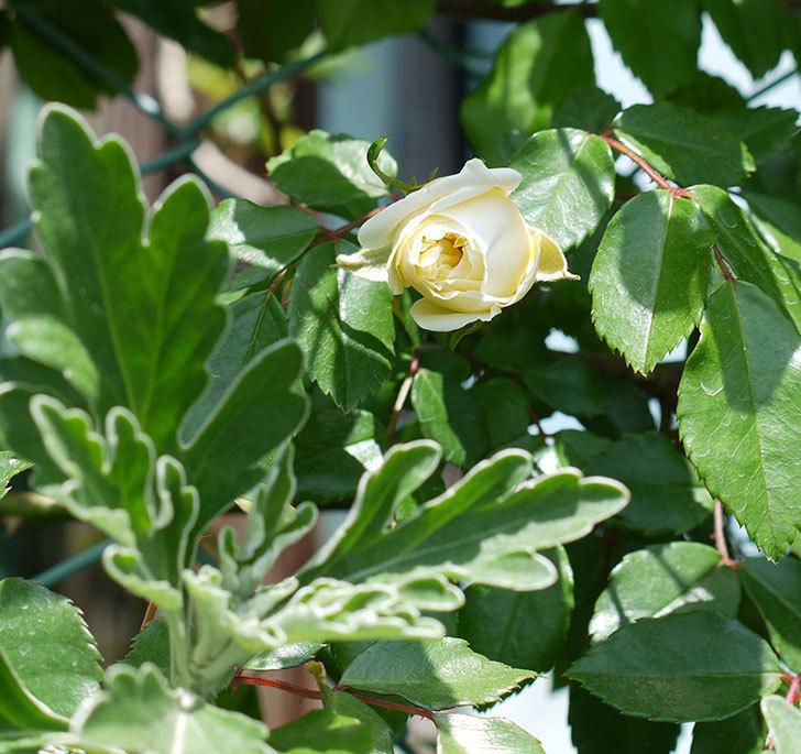 アルベリック・バルビエ(ツルバラ)が咲いた。2017年-11.jpg