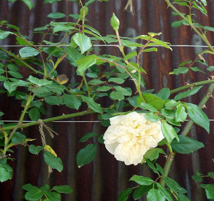 アルベリック・バルビエ(ツルバラ)が咲いた。2017年-2.jpg