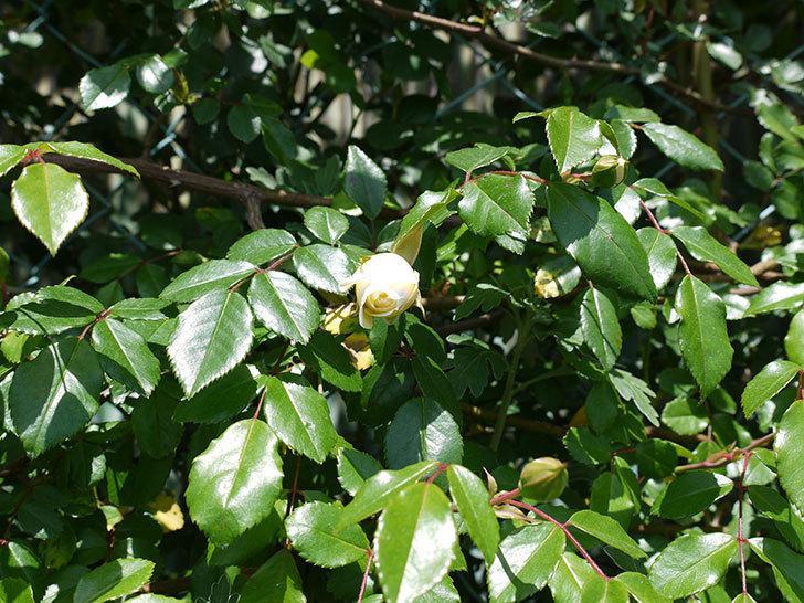 アルベリック・バルビエ(ツルバラ)が咲いた。2017年-4.jpg