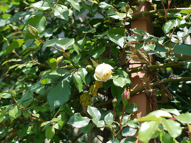 アルベリック・バルビエ(ツルバラ)が咲いた。2017年-5.jpg