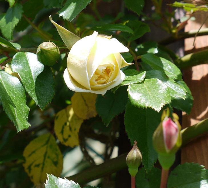 アルベリック・バルビエ(ツルバラ)が咲いた。2017年-6.jpg
