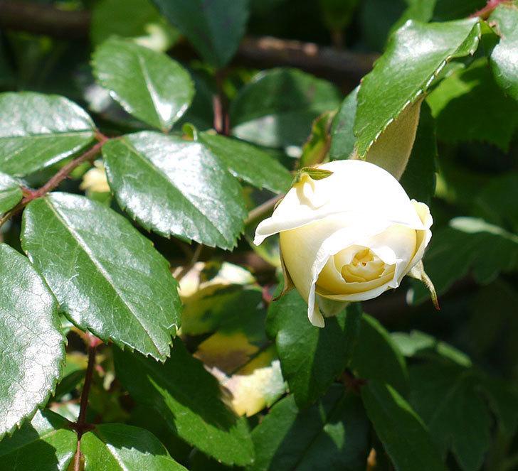 アルベリック・バルビエ(ツルバラ)が咲いた。2017年-7.jpg