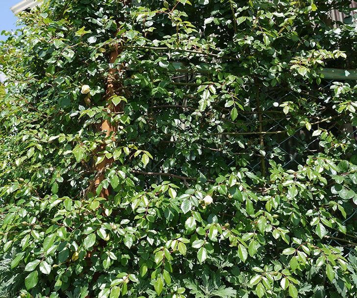 アルベリック・バルビエ(ツルバラ)が咲いた。2017年-9.jpg