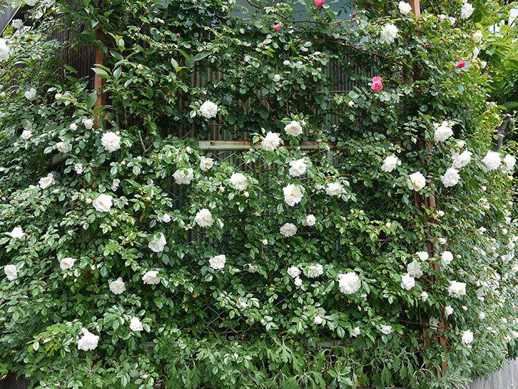 アルベリック・バルビエ(ツルバラ)の花が増えてきた。2017年-1.jpg