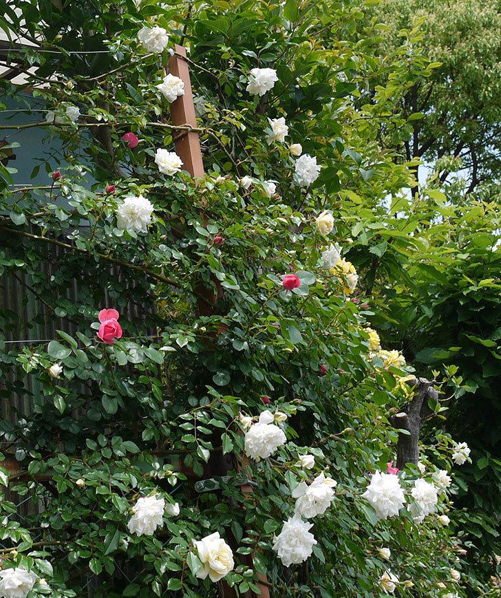 アルベリック・バルビエ(ツルバラ)の花が増えてきた。2017年-10.jpg