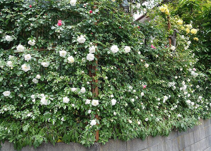 アルベリック・バルビエ(ツルバラ)の花が増えてきた。2017年-11.jpg