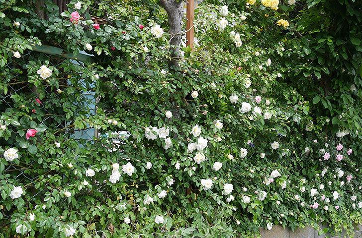 アルベリック・バルビエ(ツルバラ)の花が増えてきた。2017年-12.jpg