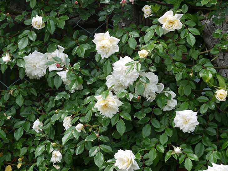 アルベリック・バルビエ(ツルバラ)の花が増えてきた。2017年-13.jpg