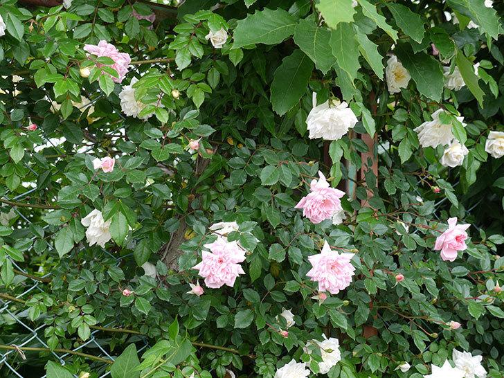 アルベリック・バルビエ(ツルバラ)の花が増えてきた。2017年-14.jpg
