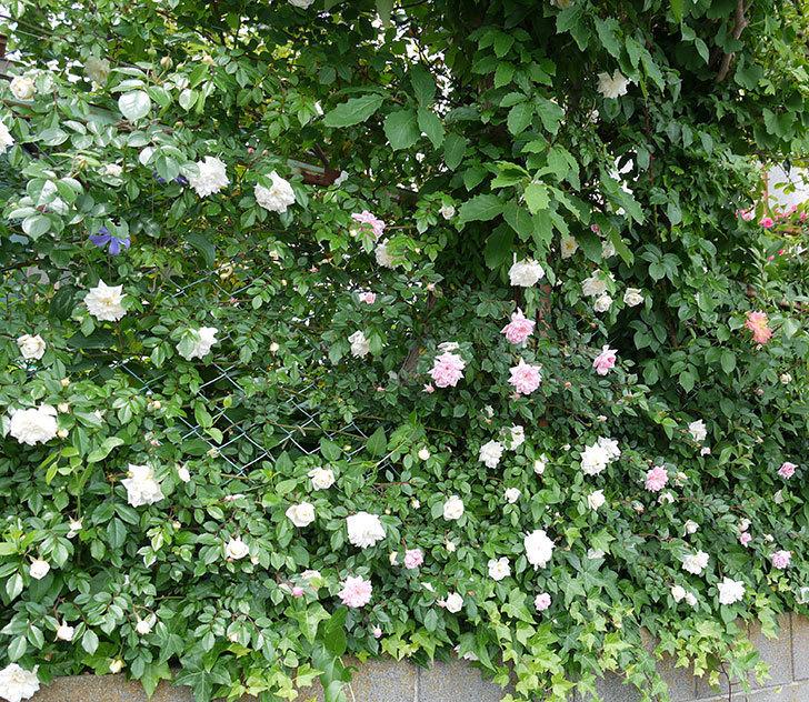 アルベリック・バルビエ(ツルバラ)の花が増えてきた。2017年-15.jpg