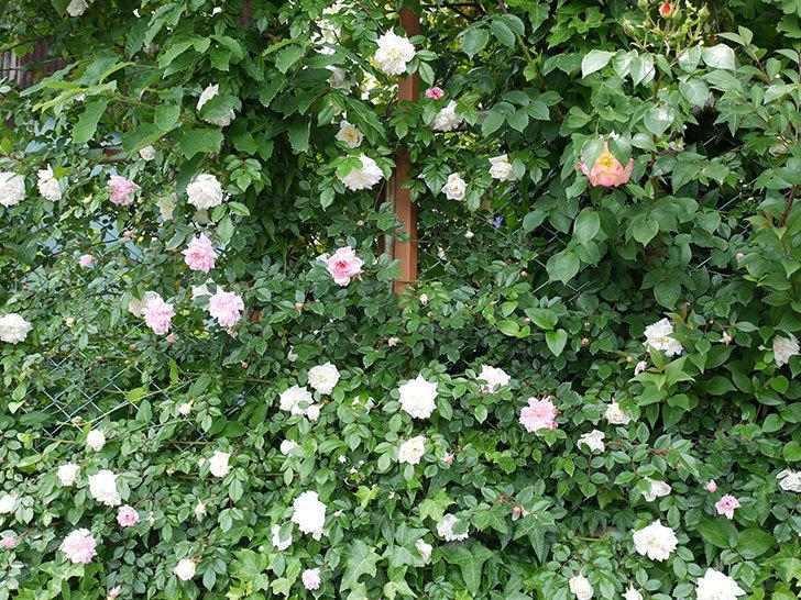 アルベリック・バルビエ(ツルバラ)の花が増えてきた。2017年-16.jpg