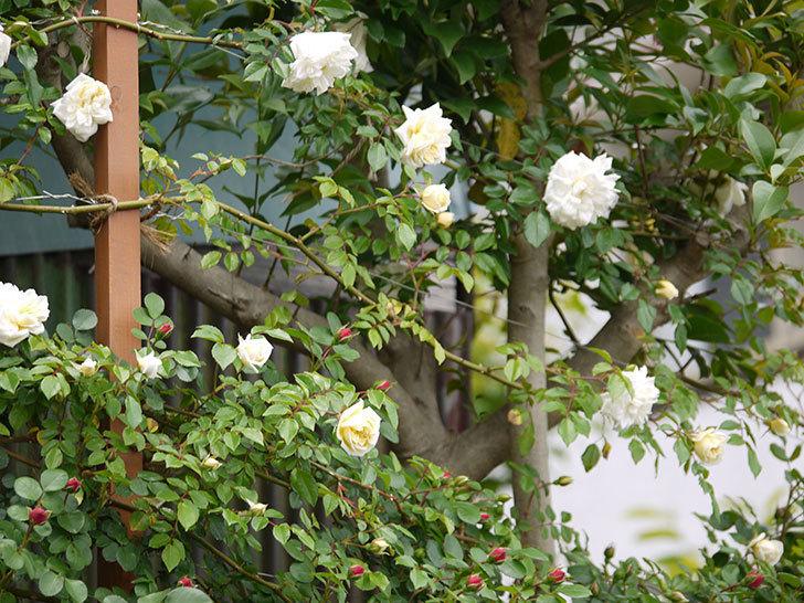 アルベリック・バルビエ(ツルバラ)の花が増えてきた。2017年-17.jpg