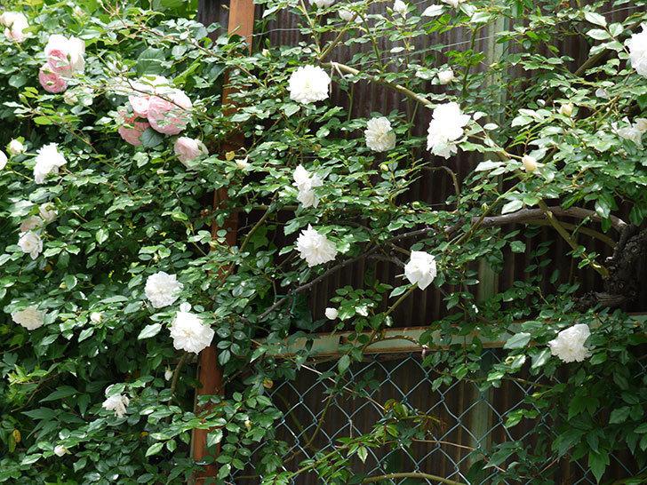 アルベリック・バルビエ(ツルバラ)の花が増えてきた。2017年-2.jpg