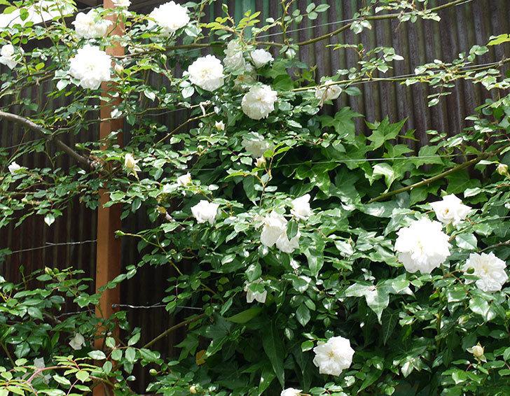 アルベリック・バルビエ(ツルバラ)の花が増えてきた。2017年-3.jpg