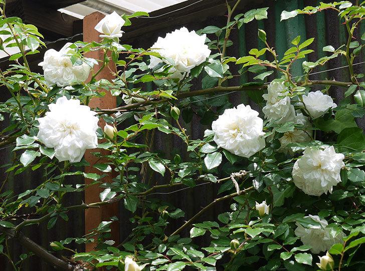 アルベリック・バルビエ(ツルバラ)の花が増えてきた。2017年-4.jpg