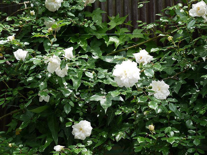 アルベリック・バルビエ(ツルバラ)の花が増えてきた。2017年-5.jpg