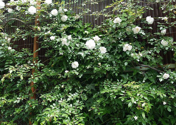 アルベリック・バルビエ(ツルバラ)の花が増えてきた。2017年-6.jpg