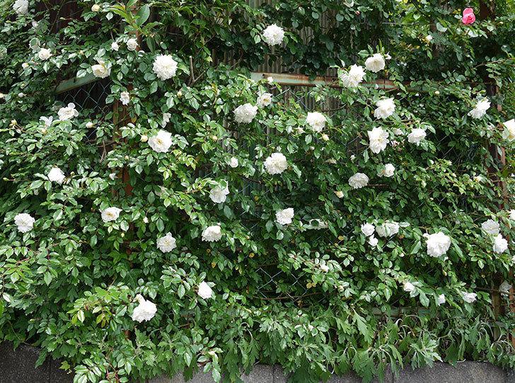 アルベリック・バルビエ(ツルバラ)の花が増えてきた。2017年-7.jpg