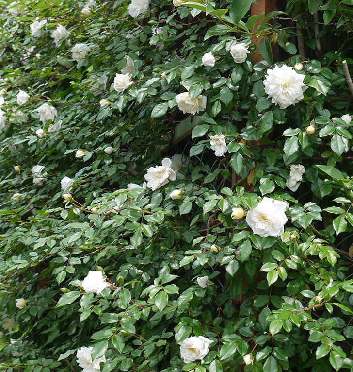 アルベリック・バルビエ(ツルバラ)の花が増えてきた。2017年-8.jpg