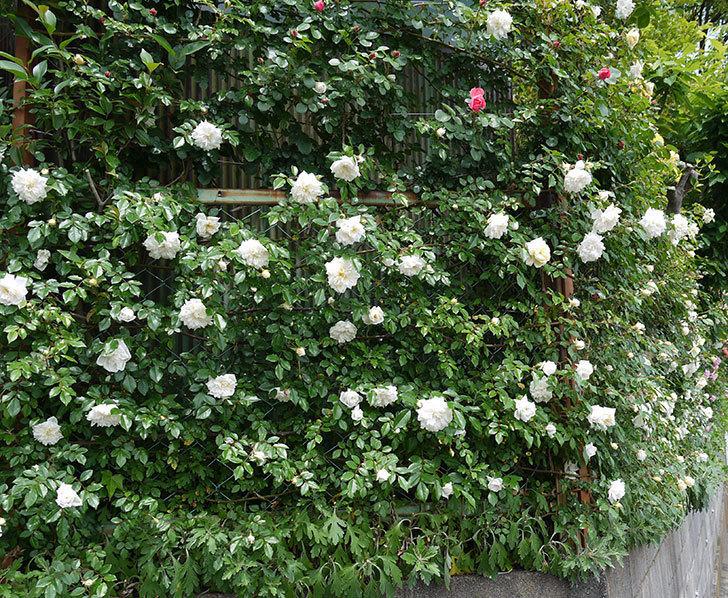 アルベリック・バルビエ(ツルバラ)の花が増えてきた。2017年-9.jpg