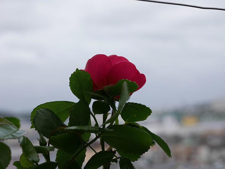 アンジェラ(Angela)の花が1個咲いた。ツルバラ。2021年-001.jpg