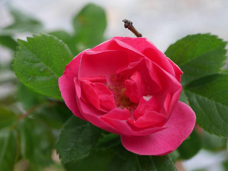 アンジェラ(Angela)の花が1個咲いた。ツルバラ。2021年-006.jpg