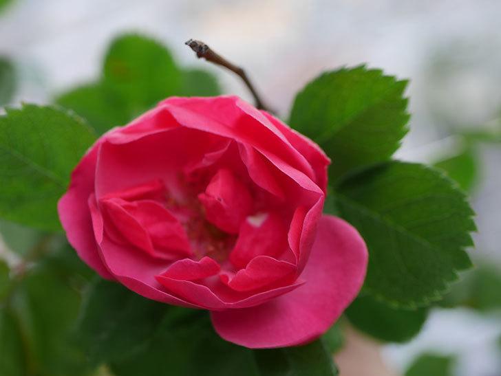 アンジェラ(Angela)の花が1個咲いた。ツルバラ。2021年-007.jpg