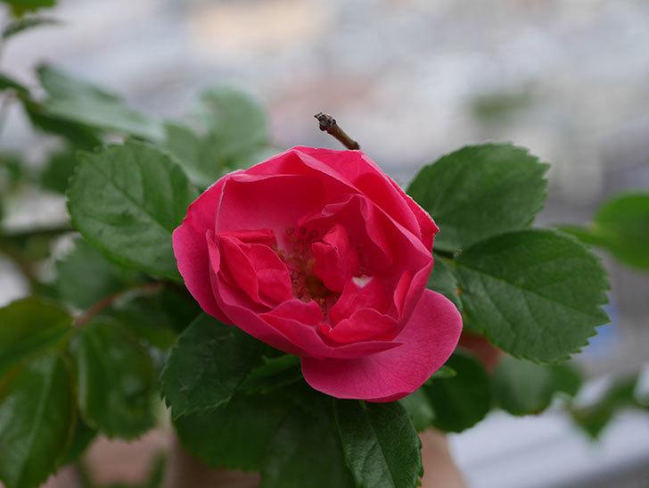 アンジェラ(Angela)の花が1個咲いた。ツルバラ。2021年-008.jpg
