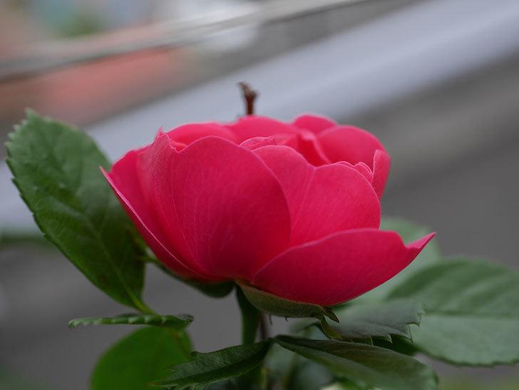 アンジェラ(Angela)の花が1個咲いた。ツルバラ。2021年-009.jpg