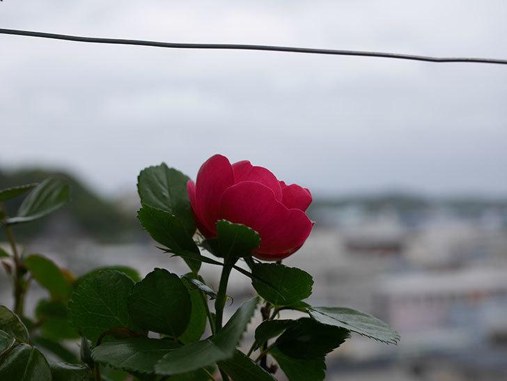 アンジェラ(Angela)の花が1個咲いた。ツルバラ。2021年-011.jpg