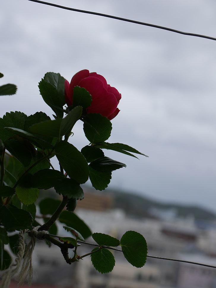 アンジェラ(Angela)の花が1個咲いた。ツルバラ。2021年-012.jpg
