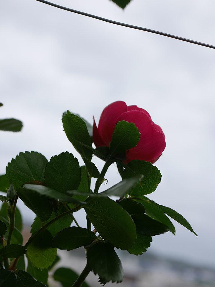 アンジェラ(Angela)の花が1個咲いた。ツルバラ。2021年-013.jpg