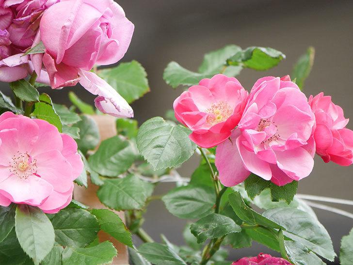 アンジェラ(Angela)の花がぽつぽつ咲きだした。ツルバラ。2021年-023.jpg