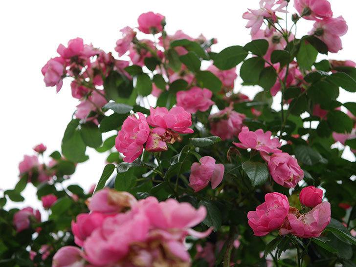アンジェラ(Angela)の花がまだ咲いている。ツルバラ。2020年-002.jpg