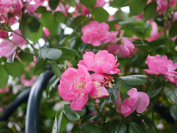 アンジェラ(Angela)の花がまだ咲いている。ツルバラ。2020年-003.jpg