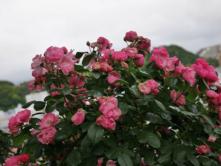 アンジェラ(Angela)の花がまだ咲いている。ツルバラ。2020年-004.jpg