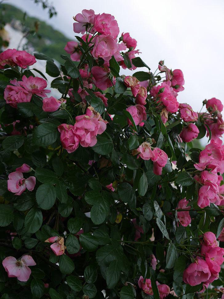 アンジェラ(Angela)の花がまだ咲いている。ツルバラ。2020年-005.jpg