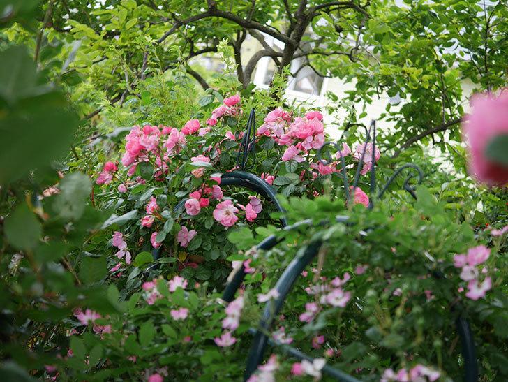 アンジェラ(Angela)の花がまだ咲いている。ツルバラ。2020年-006.jpg