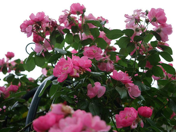 アンジェラ(Angela)の花がまだ咲いている。ツルバラ。2020年-007.jpg