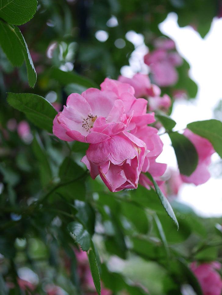 アンジェラ(Angela)の花がまだ咲いている。ツルバラ。2020年-008.jpg
