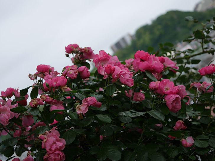 アンジェラ(Angela)の花がまだ咲いている。ツルバラ。2020年-009.jpg