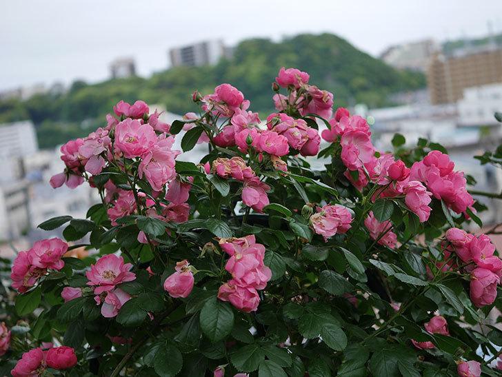 アンジェラ(Angela)の花がまだ咲いている。ツルバラ。2020年-010.jpg
