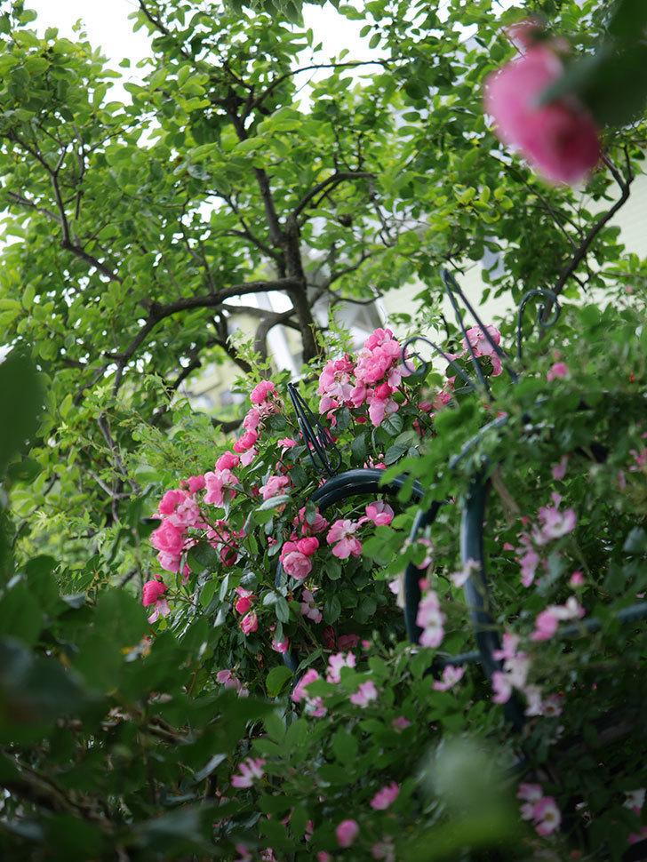 アンジェラ(Angela)の花がまだ咲いている。ツルバラ。2020年-011.jpg