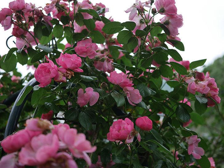 アンジェラ(Angela)の花がまだ咲いている。ツルバラ。2020年-013.jpg