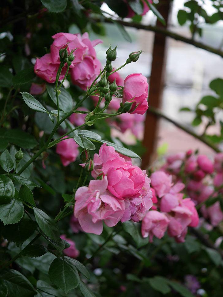 アンジェラ(Angela)の花がまだ咲いている。ツルバラ。2020年-016.jpg