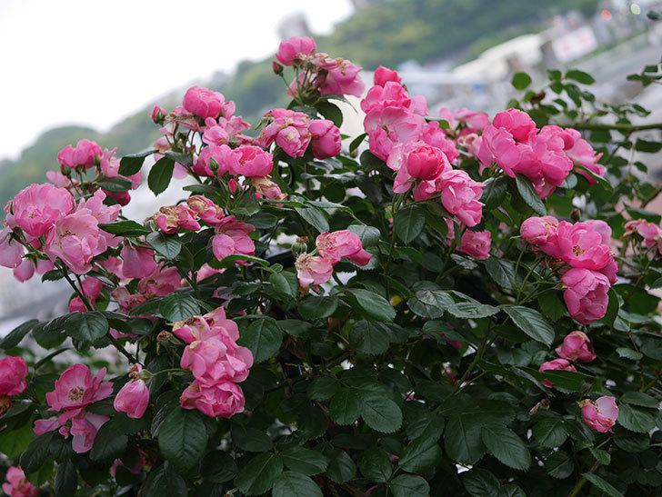 アンジェラ(Angela)の花がまだ咲いている。ツルバラ。2020年-017.jpg